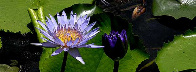 Blue Lotus Blue Water Lily Egyptian Lotus Sacred Narcotic Lily
